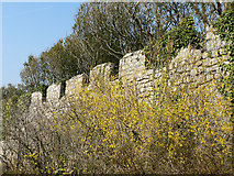 SS8872 : Spring Forsythia, Dunraven Park walled garden. by Mick Lobb