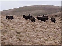 NT7912 : Wild goats on the Cheviots by Oliver Dixon