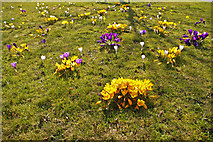 TQ3095 : Crocus on green, Sheringham Avenue, London N14 by Christine Matthews