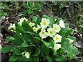 SP9313 : Primroses beside the track, College Lake by Chris Reynolds