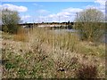 SP9313 : Coppiced Willows at College Lake by Chris Reynolds