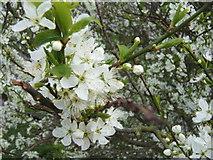 NU0052 : Springtime on the Walls, Berwick by Barbara Carr