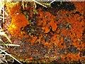 NS4381 : An alga (Trentepohlia) on rock by Lairich Rig