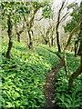 SX0949 : Wild garlic in beech wood by Jonathan Billinger
