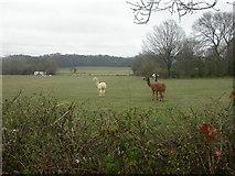 SU1012 : Alderholt, alpacas by Mike Faherty
