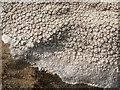NS3380 : A lichen - Ochrolechia parella by Lairich Rig