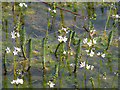 TL5162 : Water plants in Quy Fen pond by Keith Edkins