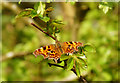 TM0419 : Young Hawthorn, old Comma by Zorba the Geek