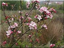 SX9066 : Apple blossom, former Barton Tip by Derek Harper