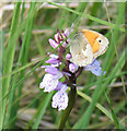 SH7352 : Small Heath Butterfly on Heath Spotted Orchid. by STEVE POVEY