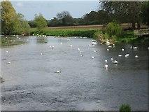 ST9102 : Swans at Crawford Bridge by John Palmer