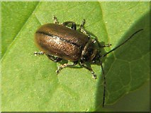NS3878 : A Chrysomelid beetle by Lairich Rig