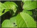 NS3878 : Leaf galls on bird cherry by Lairich Rig