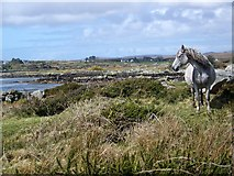L7341 : Connemara Pony, Inis Ni/Inishnee by Maigheach-gheal
