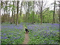 SP8908 : The Wood Floor is covered with Bluebells by Chris Reynolds