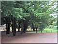 SP8809 : Yew Trees behind the Café, Wendover Woods by Chris Reynolds