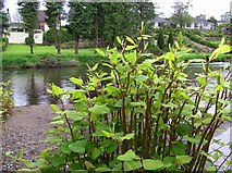 H4772 : Japanese Knotweed, Cranny by Kenneth  Allen