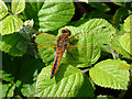 TL9332 : Scarce Chaser on bramble leaf by Zorba the Geek