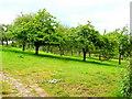 SO4718 : Mature orchard near Llanrothal by Jonathan Billinger