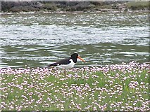 NX8356 : Oystercatcher in the pink by Ed Iglehart