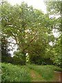 SZ0795 : East Howe: large oak in Puck's Dell by Chris Downer