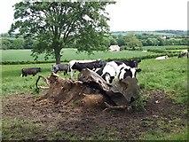 NZ3510 : Cattle at Rose Hill by Gordon Hatton