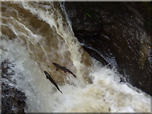 NN9328 : Salmon leaping at Buchanty Spout on River Almond by geojoc