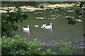 SW8741 : Family of swans on Lamorran  pond by Fred James