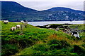 G6592 : Loughros Peninsula - Sheep grazing at end of road by Joseph Mischyshyn