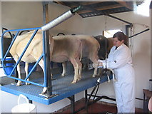 TF7632 : Sheep milking parlour at Great Bircham Windmill by Alan Hawkes