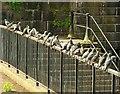J3474 : Feral pigeons, Belfast by Albert Bridge