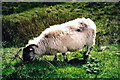 G5888 : Road to and from Port - Sheep grazing by Joseph Mischyshyn