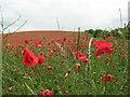 NZ1563 : Poppy fields at Ryton by phil rayson