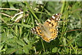 HP6516 : Painted Lady (Vanessa cardui), Skaw by Mike Pennington