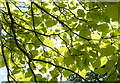 TQ2882 : Sunlight through the leaves of a Catalpa bignonioides by pam fray