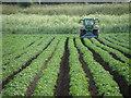 TL1988 : Ridging potato rows on Denton Fen by Michael Trolove