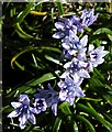 NF6604 : Spring Squill (Scilla verna) by Anne Burgess