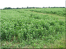 TM1686 : A crop of peas by Evelyn Simak