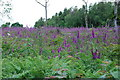 SX5459 : Flowering foxgloves by jeff collins