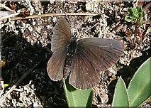 NJ3365 : Small Blue Butterfly (Cupido minimus) by Anne Burgess