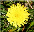 NJ3437 : Mouse-Ear Hawkweed (Pilosella officinarum) by Anne Burgess