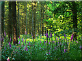 SU2366 : Foxgloves and pines, Savernake Forest by Brian Robert Marshall