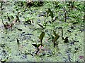 SP9713 : Leaves of Bogbean poking through the Duckweed by Chris Reynolds