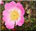 NJ3266 : Wild Rose (Rosa sp) by Anne Burgess