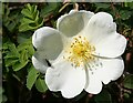 NJ3266 : Burnet Rose (Rosa pimpinellifolia) by Anne Burgess