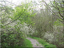 NY9038 : Footpath alongside Middlehope Burn by Mike Quinn
