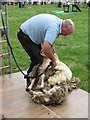 SJ8070 : Lower Withington Rose Day - Sheep Shearing Demo by Paul Kennington