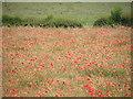 NZ1825 : Poppy field by malcolm tebbit