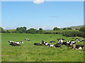 NY7606 : Cows in the Eden Valley by Stephen Craven