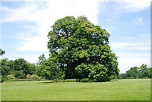 TG1807 : Tree, Earlham Park by N Chadwick